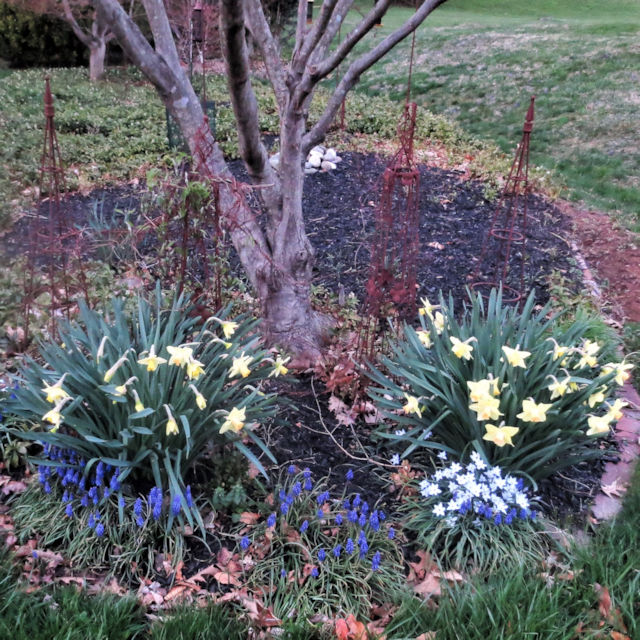 Daffodil 'Dotties Dream' with Starflower in mid spring